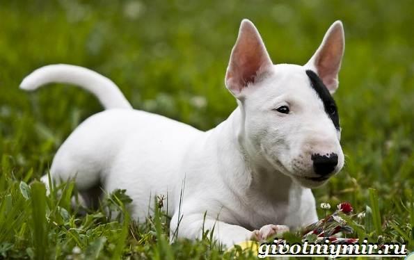 Миниатюрный-бультерьер-собака-описание-особенности-уход-и-цена-миниатюрного-бультерьера-5