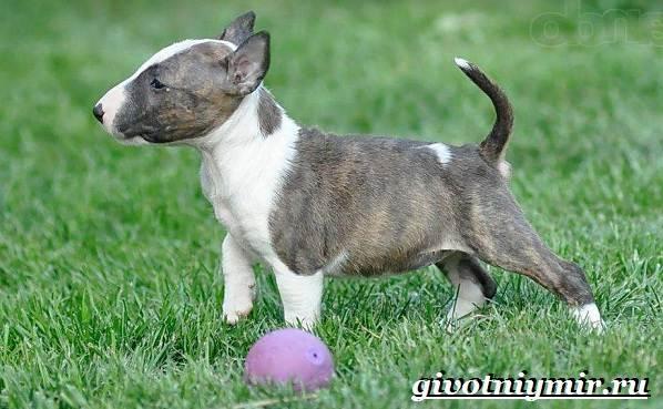 Миниатюрный-бультерьер-собака-описание-особенности-уход-и-цена-миниатюрного-бультерьера-6