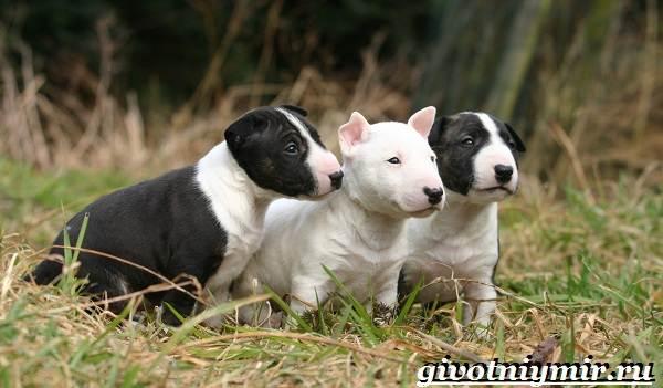 Миниатюрный-бультерьер-собака-описание-особенности-уход-и-цена-миниатюрного-бультерьера-9