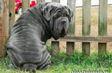 Неаполитанский мастиф собака. Описание, особенности, уход и цена неаполитанского мастифа
