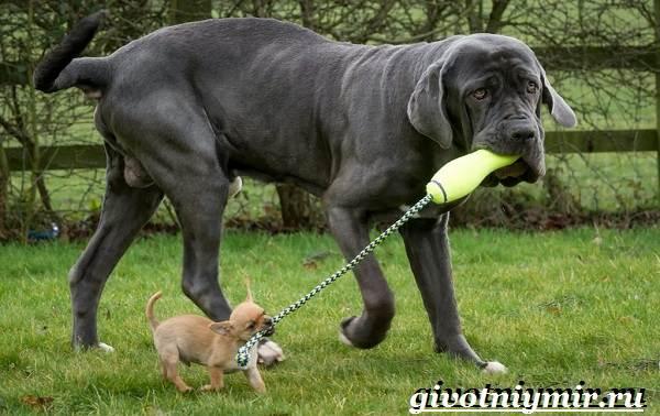 Неаполитанский-мастиф-собака-Описание-особенности-уход-и-цена-неаполитанского-мастифа-6