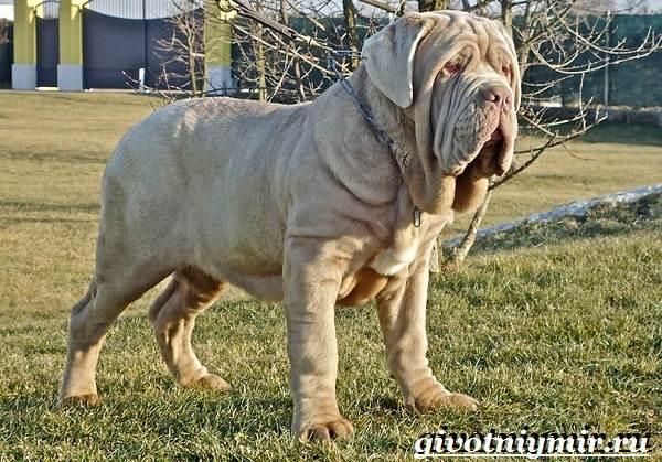 Неаполитанский-мастиф-собака-Описание-особенности-уход-и-цена-неаполитанского-мастифа-9
