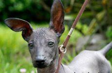 Перуанская орхидея инков собака. Описание и особенности перуанской орхидеи инков