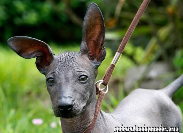 Перуанская-орхидея-инков-собака-Описание-и-особенности-перуанской-орхидеи-инков-1