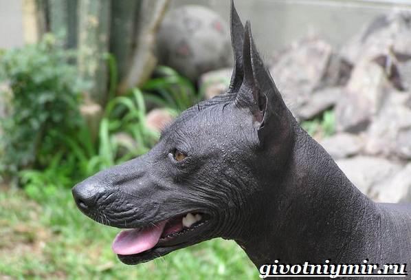 Перуанская-орхидея-инков-собака-Описание-и-особенности-перуанской-орхидеи-инков-5