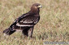 Подорлик птица. Образ жизни и среда обитания птицы подорлик
