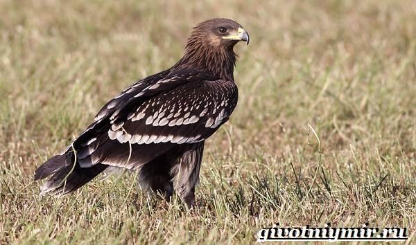 Подорлик-птица-Образ-жизни-и-среда-обитания-птицы-подорлик-1