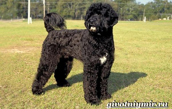 Португальская-водяная-собака-Описание-особенности-уход-и-цена-португальской-водяной-собаки-1