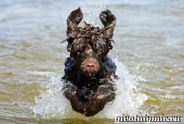 Португальская-водяная-собака-Описание-особенности-уход-и-цена-португальской-водяной-собаки-10