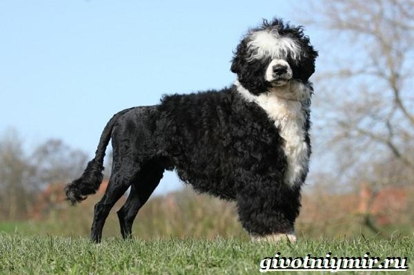 Португальская-водяная-собака-Описание-особенности-уход-и-цена-португальской-водяной-собаки-3