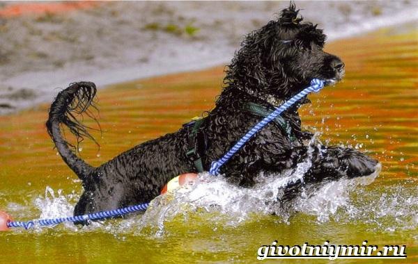Португальская-водяная-собака-Описание-особенности-уход-и-цена-португальской-водяной-собаки-7
