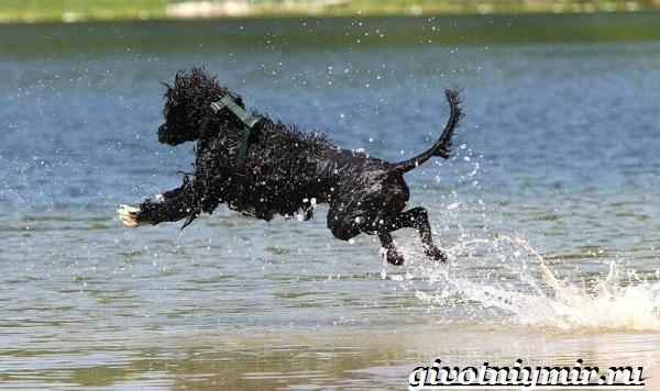 Португальская-водяная-собака-Описание-особенности-уход-и-цена-португальской-водяной-собаки-8
