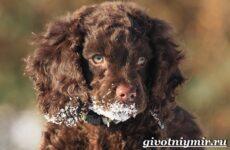 Португальская водяная собака. Описание, особенности, уход и цена португальской водяной собаки
