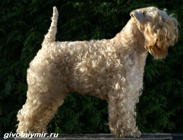 Пшеничный-терьер-собака-Описание-особенности-уход-и-цена-пшеничного-терьера-1