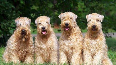Пшеничный терьер собака. Описание, особенности, уход и цена пшеничного терьера
