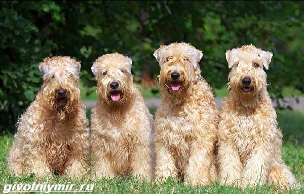 Пшеничный-терьер-собака-Описание-особенности-уход-и-цена-пшеничного-терьера-2