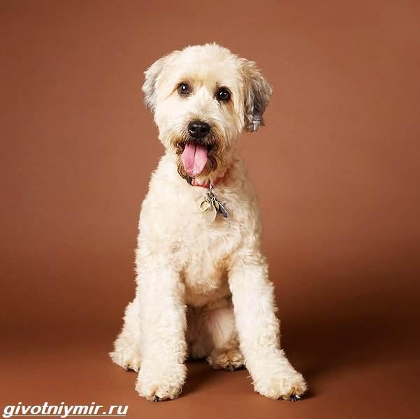 Пшеничный-терьер-собака-Описание-особенности-уход-и-цена-пшеничного-терьера-3
