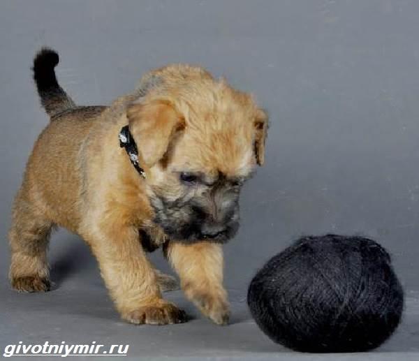 Пшеничный-терьер-собака-Описание-особенности-уход-и-цена-пшеничного-терьера-5
