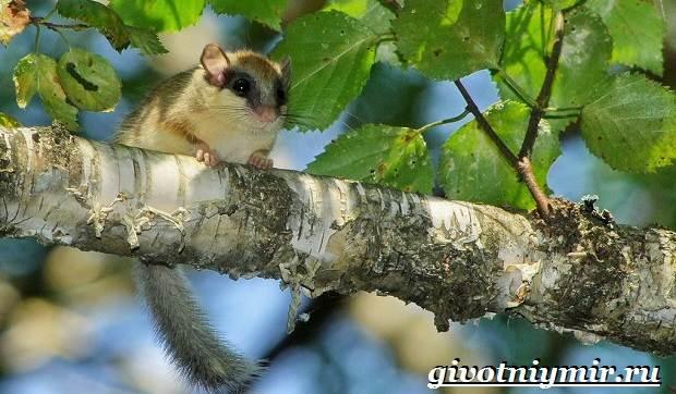 Садовая-соня-животное-Образ-жизни-и-среда-обитания-садовой-сони-8