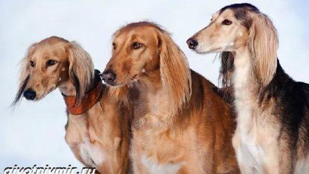 Салюки собака. Описание, особенности, уход и цена собаки салюки
