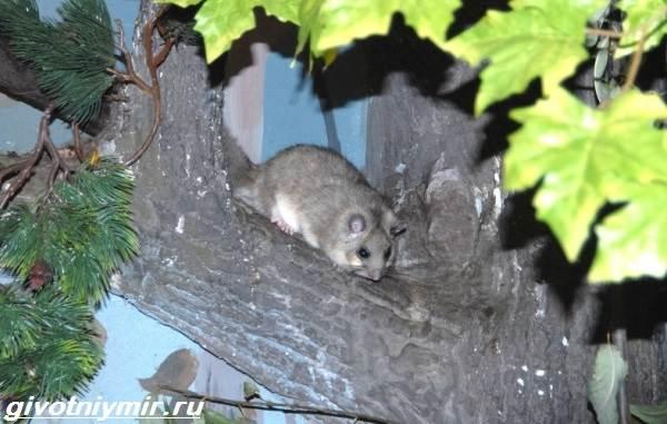 Соня-полчок-животное-Образ-жизни-и-среда-обитания-сони-полчок-7