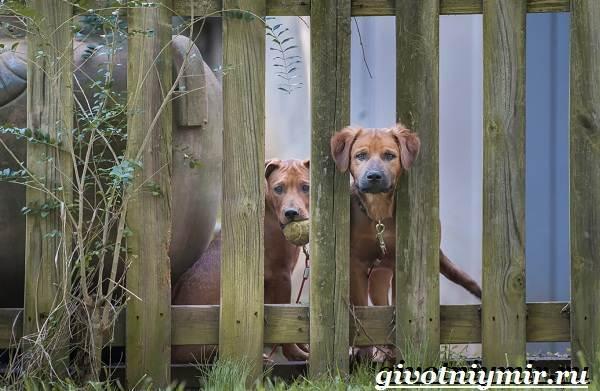 Сторожевые-собаки-Описание-названия-и-особенности-сторожевых-собак-1