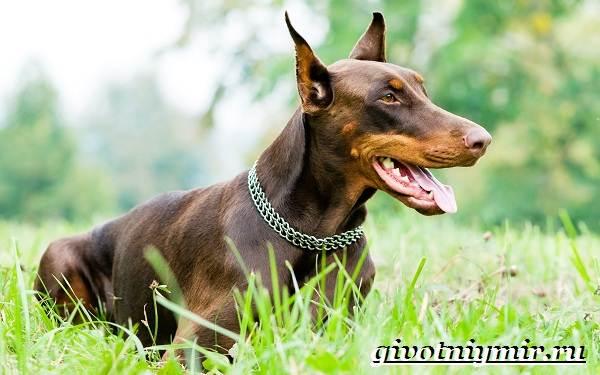 Сторожевые-собаки-Описание-названия-и-особенности-сторожевых-собак-11