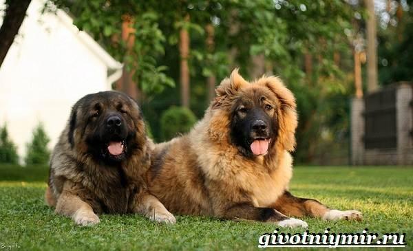 Сторожевые-собаки-Описание-названия-и-особенности-сторожевых-собак-15