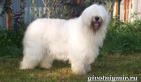Сторожевые-собаки-Описание-названия-и-особенности-сторожевых-собак-17