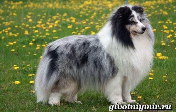 Сторожевые-собаки-Описание-названия-и-особенности-сторожевых-собак-21