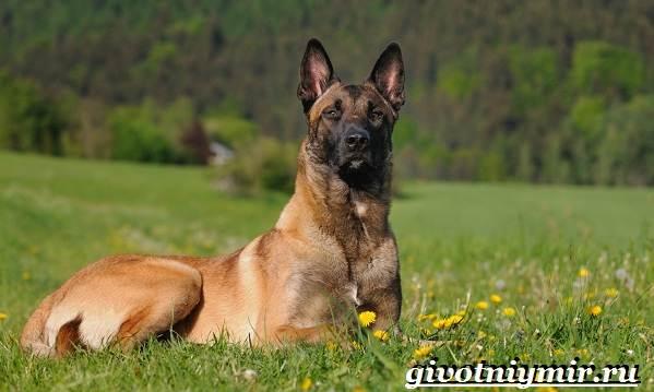 Сторожевые-собаки-Описание-названия-и-особенности-сторожевых-собак-3