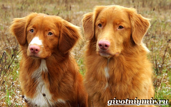 Толлер-собака-Описание-особенности-уход-и-цена-толлера-10