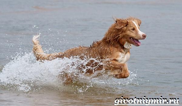 Толлер-собака-Описание-особенности-уход-и-цена-толлера-11