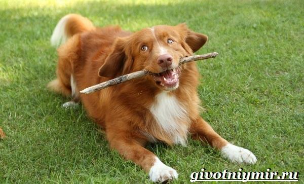 Толлер-собака-Описание-особенности-уход-и-цена-толлера-14