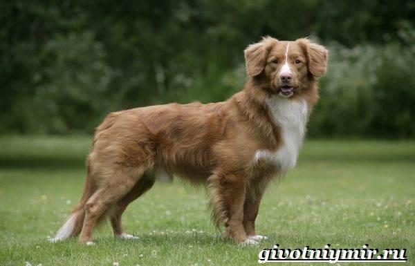 Толлер-собака-Описание-особенности-уход-и-цена-толлера-2