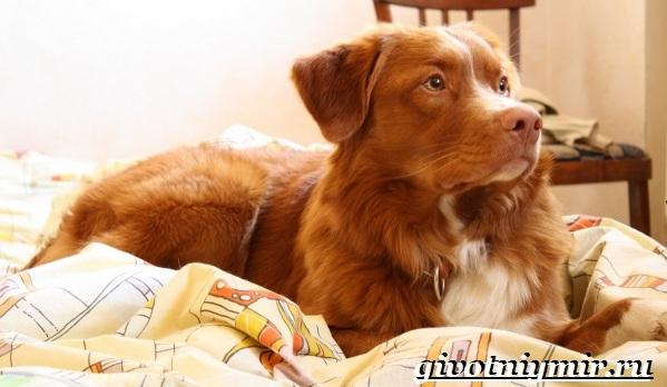 Толлер-собака-Описание-особенности-уход-и-цена-толлера-20