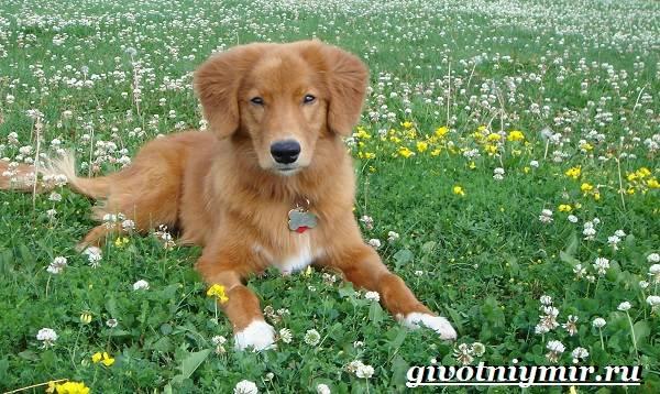 Толлер-собака-Описание-особенности-уход-и-цена-толлера-3