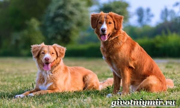 Толлер-собака-Описание-особенности-уход-и-цена-толлера-6