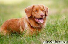 Толлер собака. Описание, особенности, уход и цена толлера