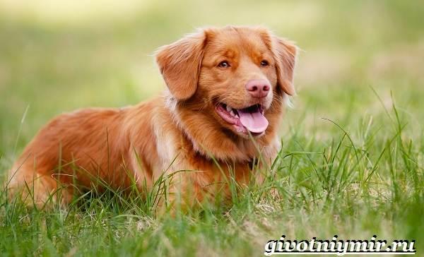 Толлер-собака-Описание-особенности-уход-и-цена-толлера-7