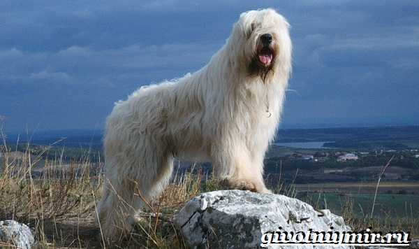 Южнорусская-овчарка-Описание-особенности-уход-и-цена-южнорусской-овчарки-2