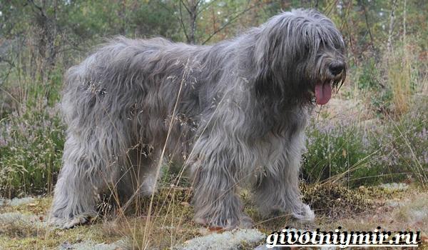 Южнорусская-овчарка-Описание-особенности-уход-и-цена-южнорусской-овчарки-4