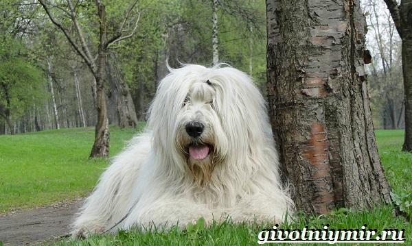 Южнорусская-овчарка-Описание-особенности-уход-и-цена-южнорусской-овчарки