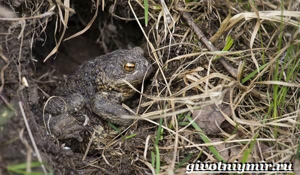 Жаба-земляная-Образ-жизни-и-среда-обитания-земляной-жабы-1