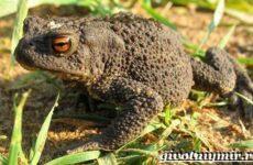 Жаба земляная. Образ жизни и среда обитания земляной жабы