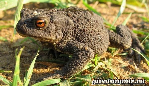 Жаба-земляная-Образ-жизни-и-среда-обитания-земляной-жабы-2