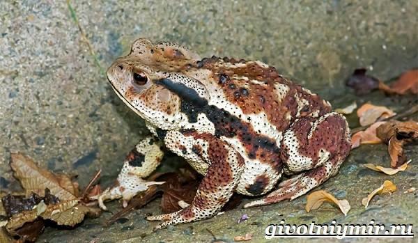 Жаба-земляная-Образ-жизни-и-среда-обитания-земляной-жабы-3