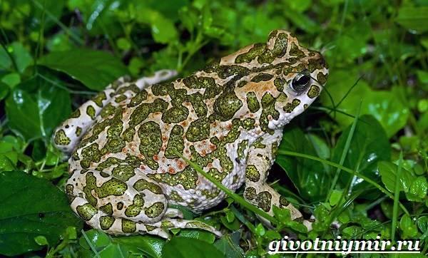 Жаба-земляная-Образ-жизни-и-среда-обитания-земляной-жабы-4
