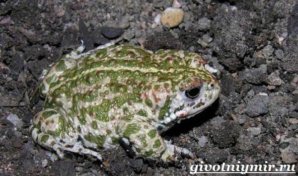 Жаба-земляная-Образ-жизни-и-среда-обитания-земляной-жабы-6