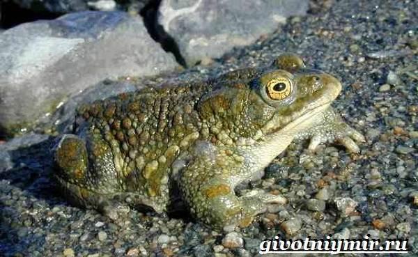 Жаба-земляная-Образ-жизни-и-среда-обитания-земляной-жабы-7